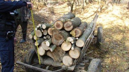 Buzau – Sapte barbati surprinsi de jandarmi in timp ce taiau arbori nemarcati