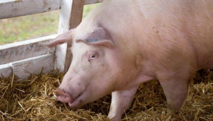 Pesta porcină confirmată în două gospodării din Dâmboviţa şi la fondul de vânătoare Brăteiu